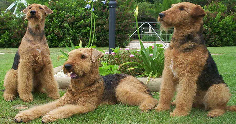 Airedale Terrier-