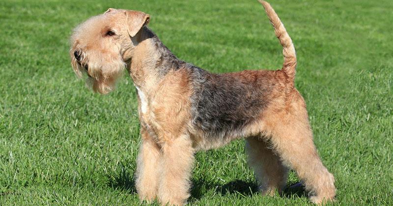Lakeland Terrier-