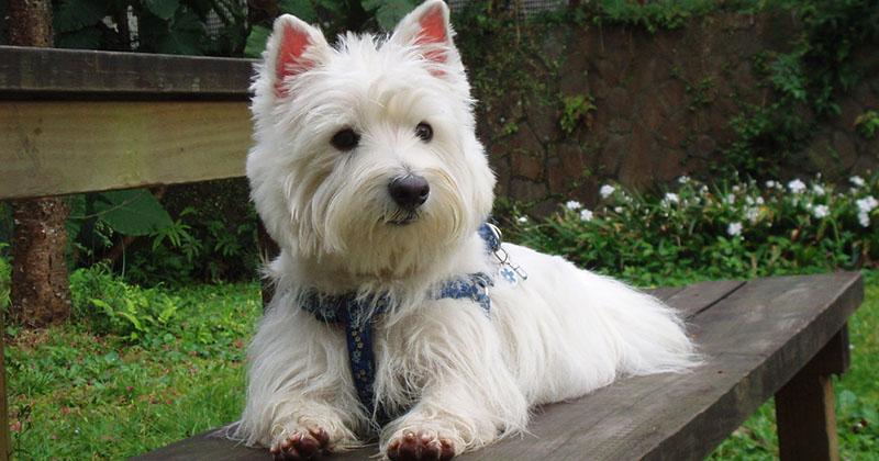 Wesley terriers-